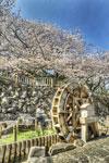 音無川の水車と桜@王子