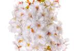 ハイダイナミックレンジ写真 - 桜のディテールコントラストに挑戦@大塚