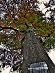 ハイダイナミックレンジ写真 - 空に枝、地には根を@新宿御苑