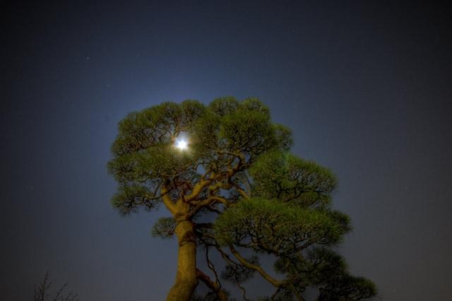 HDR(ハイダイナミックレンジ)月と松と@護国寺trees15.jpg