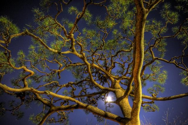 HDR(ハイダイナミックレンジ)月と松@護国寺trees17.jpg