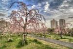 ハイダイナミックレンジ写真 - 尾久の原公園しだれ桜