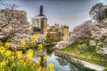 ハイダイナミックレンジ写真 - 桜です、お待たせしましたーっ