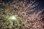 ハイダイナミックレンジ写真 - お待たせしました桜です@2012飛鳥山