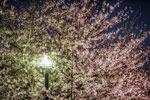 お待たせしました桜です@2012飛鳥山
