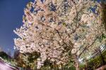 魚眼桜@飛鳥山